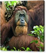 Sumatran Orangutan Pongo Abelii Canvas Print