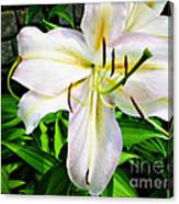 Summer White Madonna Lily Canvas Print