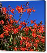 Montbretia, Summer Wildflowers Canvas Print