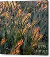 Sun Kissed Grass Canvas Print