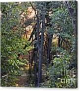 Sun Light In The Woodland  Canvas Print