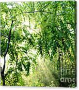 Sun Rays Through Black Walnut Leaves Canvas Print