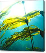 Sun Shines Through Bull Kelp Canvas Print