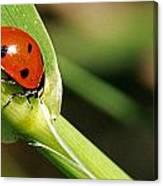 Sunbathing Ladybug Canvas Print