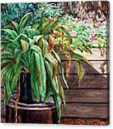 Sunburnt Kaffir Lily Canvas Print