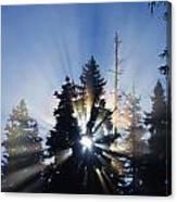 Sunburst Through Silhouetted Pine Trees Canvas Print
