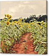 Sunfllower Farm Canvas Print