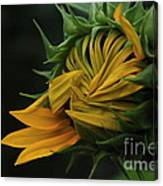 Sunflower 2012 Canvas Print