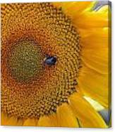 Sunflower And A Bumblebee Canvas Print