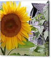 Sunflower And Barn Canvas Print
