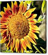 Sunflower And Bud Canvas Print