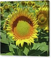 Sunflower And Honeybee July Two K O Nine Canvas Print