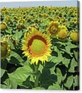 Sunflower And Honeybees July Two K O Nine  II Canvas Print