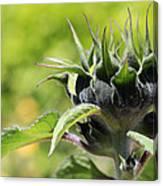 Sunflower Bud Canvas Print
