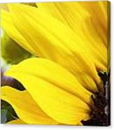 Sunflower Closeup In Landscape Canvas Print