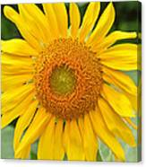 Sunflower Days Canvas Print