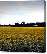 Sunflower Farm In North Dakota Canvas Print