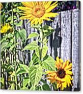 Sunflower Fence Canvas Print