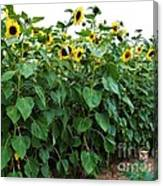 Sunflower Fields Forever   Four Canvas Print