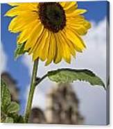 Sunflower In Balboa Park Canvas Print
