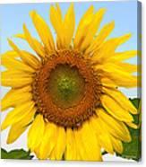 Sunflower On Blue Canvas Print