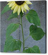 Sunflower Stalk  Canvas Print