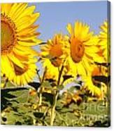 Sunflowering Canvas Print