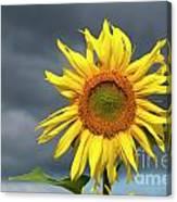 Sunflowers Helianthus Annuus Canvas Print