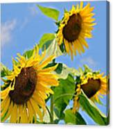 Sunflowers On Blue Canvas Print