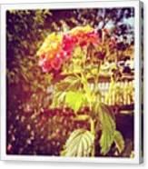 #sunlight #beautiful #flower Canvas Print