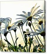 Sunlight Behind The Daisies Canvas Print