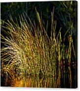 Sunlight On Grass Merritt Island Nwr Canvas Print
