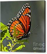 Sunlight Viceroy Canvas Print