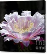 Sunlit Cactus Flower Canvas Print