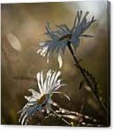Sunlit Daisies Canvas Print