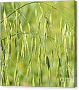 Sunny Day At The Oat Field Canvas Print