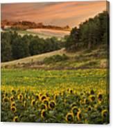 Sunrise Over Field Of Sunflowers Canvas Print