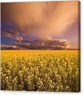 Sunset On A Canola Field Canvas Print