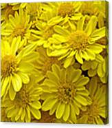 Sunshine Yellow Chrysanthemums Canvas Print