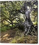 Sunstar Oak Canvas Print