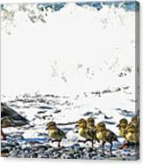 Surf Ducks Canvas Print