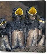 Swallow Chicks Canvas Print