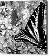 Swallowtail Butterfly And Plum Blossoms Canvas Print