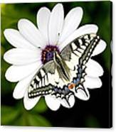 Swallowtail Butterfly Resting Canvas Print