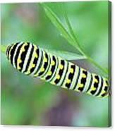 Swallowtail Caterpillar On Parsley Canvas Print