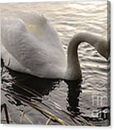 Swan Along The Shore Canvas Print