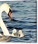 Swan And Signets On Wall Lake  Canvas Print