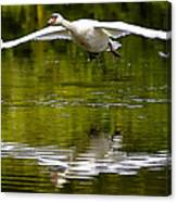 Swan Ascent Canvas Print