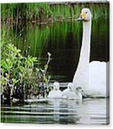 Swan Family Late Summer Canvas Print