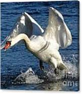 Swan In Action Canvas Print